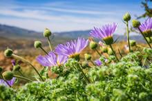 Mojave Aster (Xylorhiza Tortif...