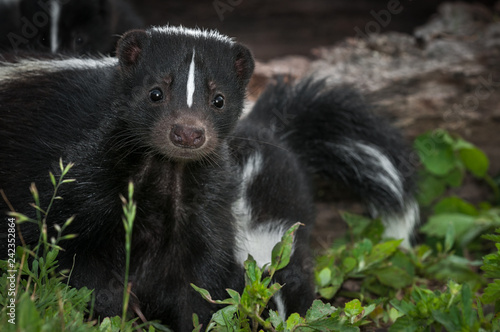 Striped Skunk (Mephitis mephitis) Doe Peers Out From Ground Summer