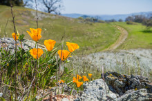 California Poppies (Eschscholzia Californica) Growing Among Rocks, Blurred Trail Going Uphill In The Background, California; Selective Focus