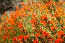 Indian Paintbrush (Castilleja), Pinnacles National Park, California