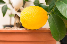 A Branch Of A Citrus Plant Gro...