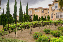 Vineyard Among The Houses In A...