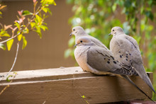Three Mourning Doves Sitting O...