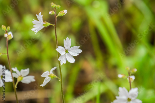Photo Woodland star (Lithophragma affine) covered in water drops, California