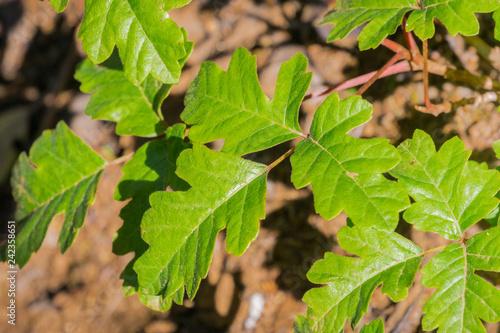 Fotografie, Obraz  Shiny Pacific Poison oak (Toxicodendron diversilobum) leaves growing close to th