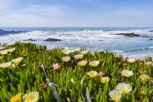 Yellow Carpobrotus Edulis Flower Covering A Bluff On The Pacific Coastline, Pescadero State Beach, California