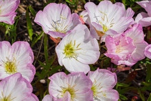 Pink Evening Primrose (Oenothera Speciosa) Flowers Blooming In A Park, San Francisco Bay Area, Non Native To California
