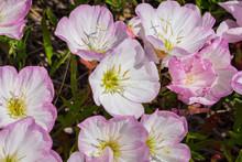 Pink Evening Primrose (Oenothe...