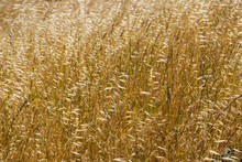 Close Up Of Tall Dry Grass On The Hills Of South San Francisco Bay, California