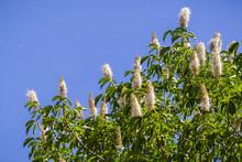 California Buckeye Flowers (Ae...