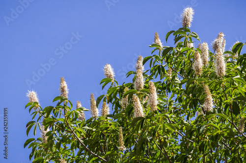 California buckeye flowers (Aesculus californica) Canvas Print