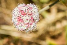 Seaside Buckwheat (Eriogonum Latifolium) Wildflower, Marin Headlands, San Francisco Bay Area, California
