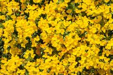 Strigose Lotus (Acmispon Strig...