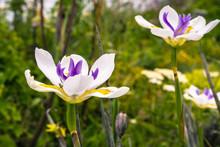 African Iris Flower