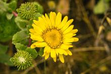 Great Valley Gumweed, Great Valley Gumplant (Grindelia Camporum, Grindelia Robusta) Flowering, California