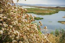 California Buckwheat (Eriogonum Fasciculatum) Wildflowers, Alviso Marsh, California