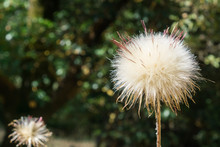 Close Up Of Thistle Puff Ball, California