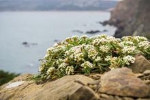 Alyssum Flowers (Lobularia Maritima) Growing Among Rocks On The Cliffs Of The Pacific Ocean, California