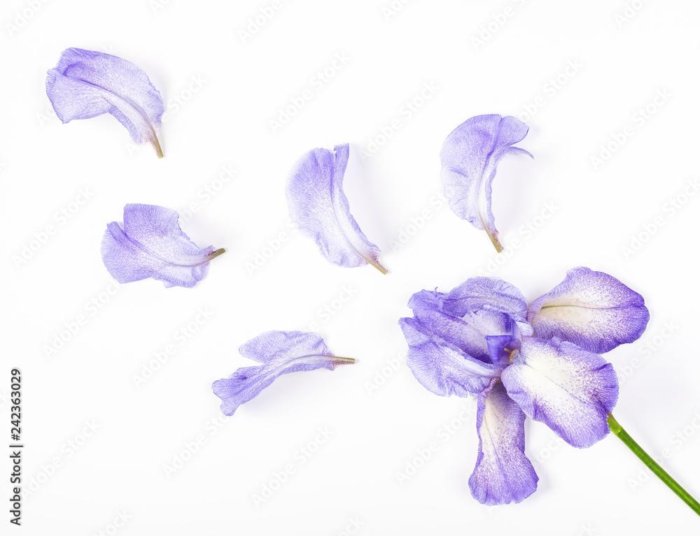 Fototapeta Purple iris flower and petals on white background. Flat lay. Top view.