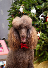 Poodle Dog In Red Bow Tie Sitting In Front Of Christmas Tree In The Room
