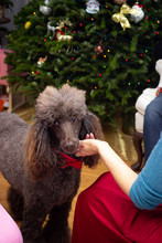 Poodle Dog In Red Bow Tie With His Owner At Christmas Party