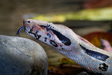 Boa Constrictor -  Called The ...