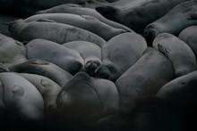 View Of Elephant Seal Sleeping