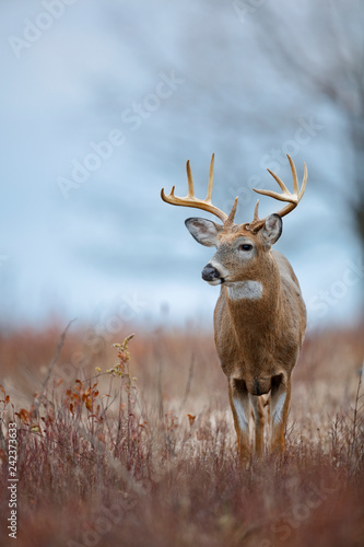 Poster Cerf White-tailed Deer