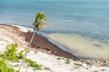 One Green Palm Tree Leaves In The Wind In Bahia Honda State Park, Florida Keys, In Ocean And Gulf Of Mexico After Hurrican Irma