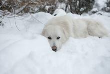 Young Tatra Shepherd Dog In Wi...