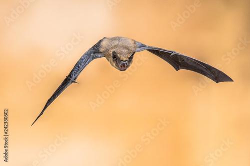 Fotografía  Echolocating pipistrelle bat
