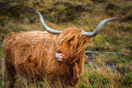 Canvas Prints Highland Cow Scottish Highland Cow