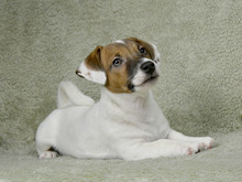 Jack Russell Puppy Of White-br...