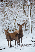Female And Buck Red Deer In Th...