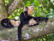 White-headed Capuchin (Cebus Imitator) Family, Female With Three Young, Grooming On A Tree Branch, Manuel Antonio National Park, Puntarenas, Costa Rica