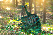 Green Peafowl Beautiful Bird