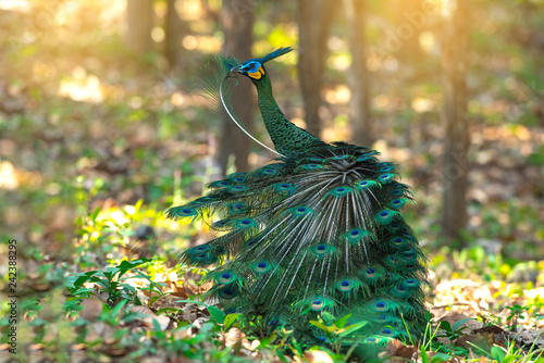 Autocollant pour porte Paon Green peafowl Beautiful bird