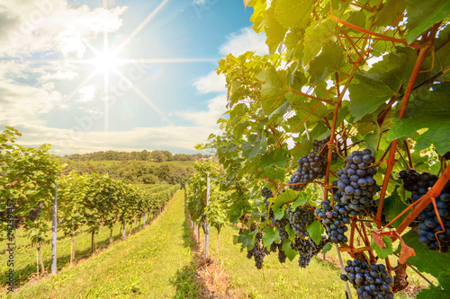 Photo sur Aluminium Vignoble Sunset over vineyards with red wine grapes in late summer