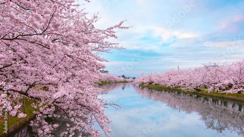 Staande foto Asia land Full bloom Sakura - Cherry Blossom at Hirosaki park, in Japan