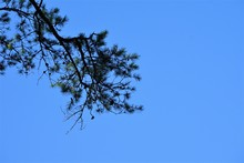 The Tip Of The Pine Tree Against Clear Blue Sky On The Background, Copy Space For Text, Winter In Georgia USA.