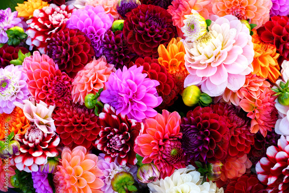 Fototapeta Bright bunches of colorful pompom dahlia flowers at the market