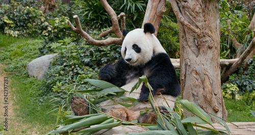 Photo  Panda eat green bamboo
