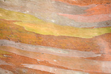 Colorful Abstract Pattern Texture Of Eucalyptus Tree Bark