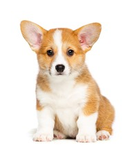 Welsh Corgi Puppy Dog  Isolate...