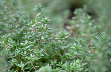 A Macro Shot Of The Fresh Thyme Herbs Grown At Greenhouse