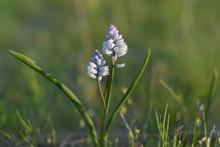 Hyacinthella Leucophaea Is A S...