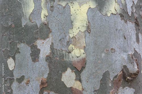Fotografía  Texture of a colorful maple trunk.