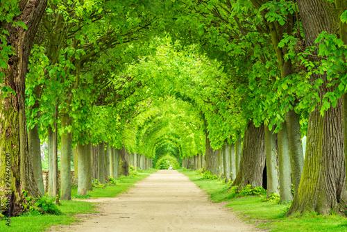 Park mit tunnelartiger Lindenallee im Frühling, frisches grünes Laub Fototapeta