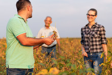 Group Of Farmers Standing In A Field Examining Soybean Crop Before Harvesting.