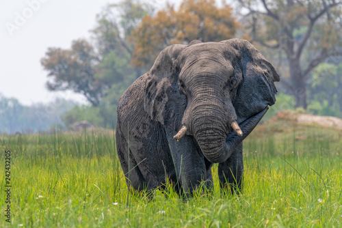 Photo  Elefant im Okavango Delta, Botswana